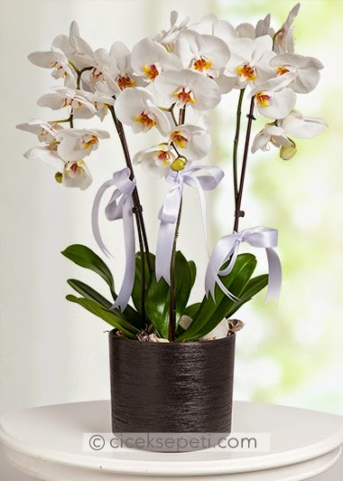 orkide