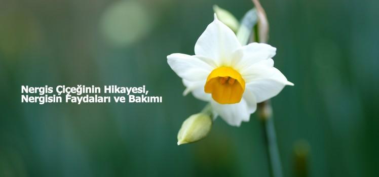 6981147-white-daffodil