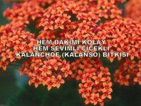 kalanchoe-kalans%cc%a7o-1024x704