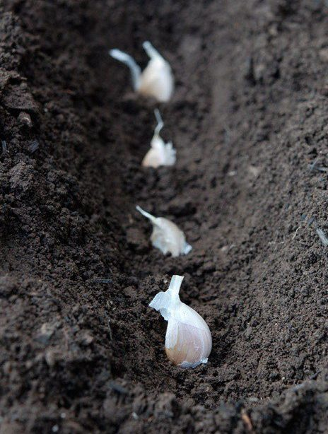 bitki toprağı için sarımsak