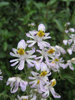 kelebek orkidesi