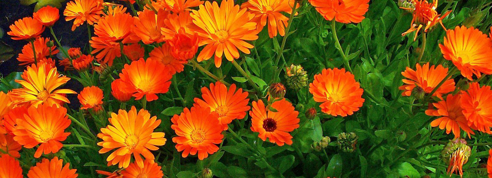 şamdan çiçeği