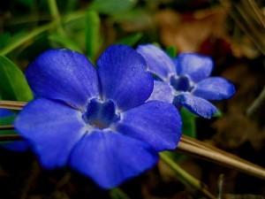 cezayir menekşesi çiçeği