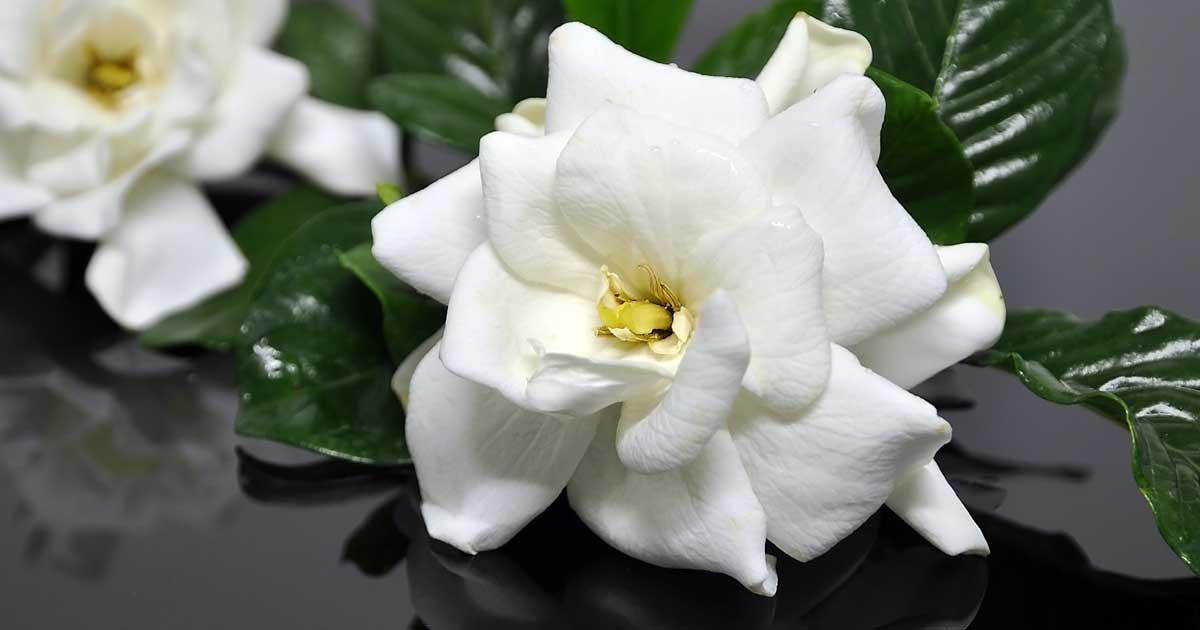 gardenya bitkisi