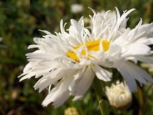 margit çiçeği