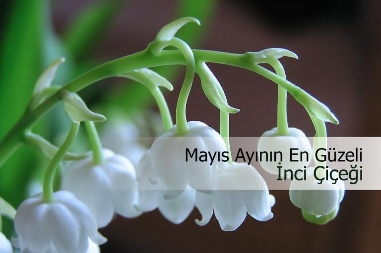 Inci çiçeği Nasıl Yetiştirilir Inci çiçeği Bakımı Ve Faydaları