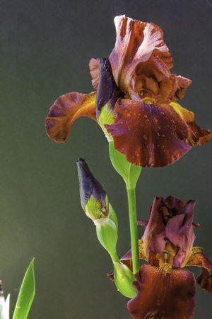iris çiçeği