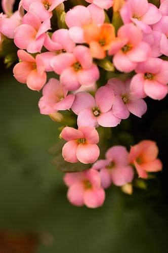 pembe kalanşo çiçeği yaprakları