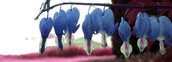 mavi ağlayan kalpler