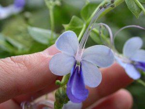 mavi kelebek çiçeği