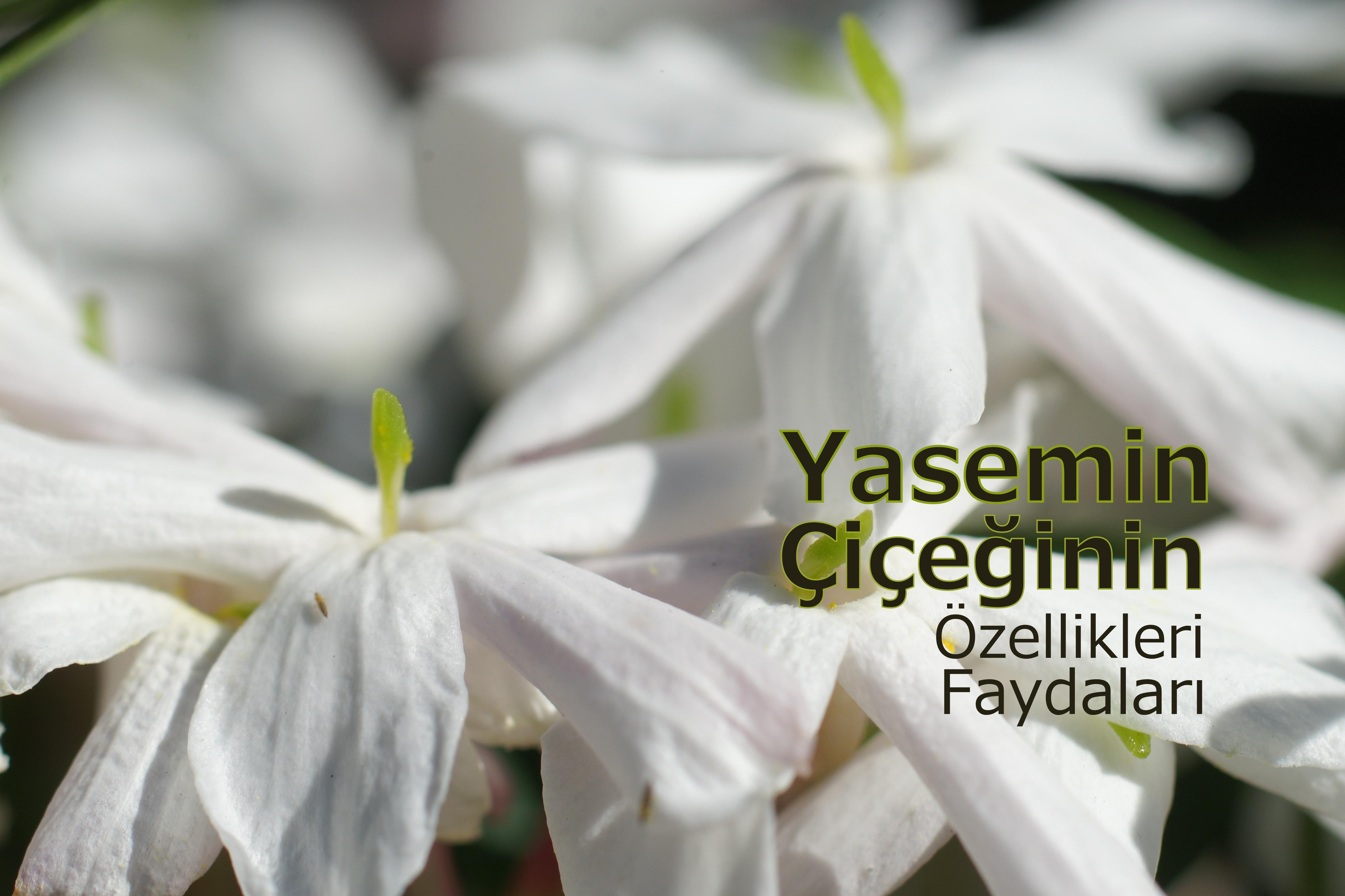 white-jasmine-flower
