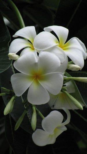 yasemin çiçeği yağı