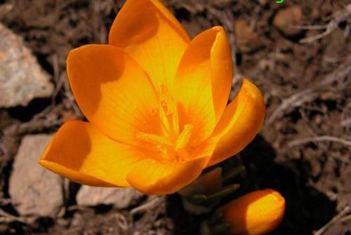 Crocus gargaricus herbert 1