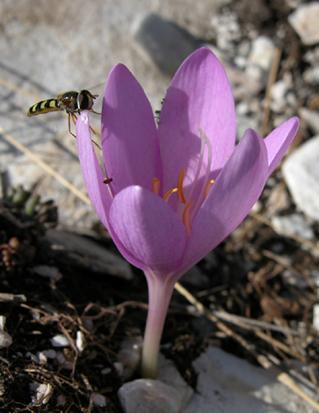 Crocus gargaricus herbert 2