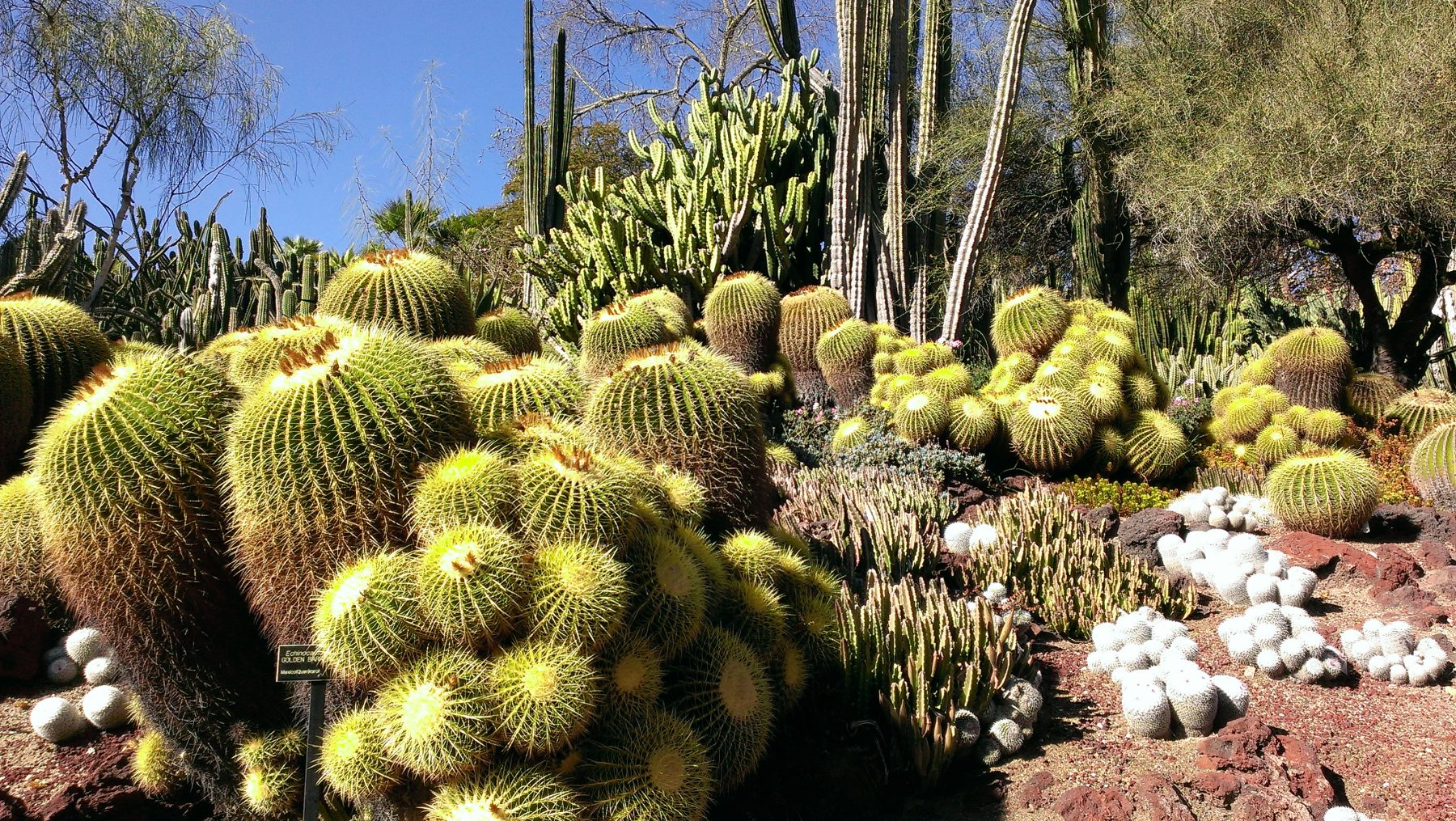 Huntington kaktüs bahçesi