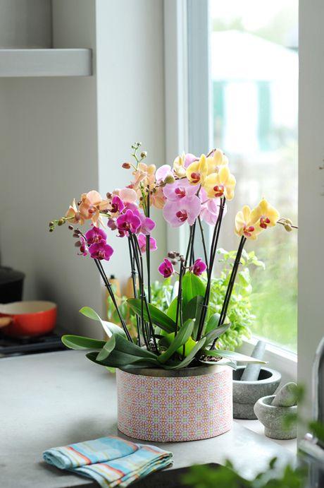 Phalaenopsis3