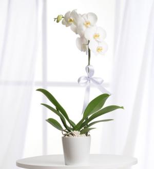 beyaz-orkide-saksili-tek-dal