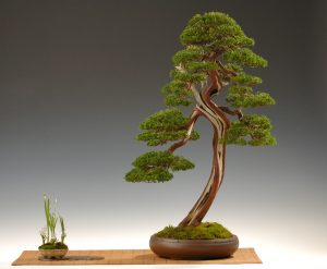 Juniperus nr: 43 Graham Potter pot: Ixing China