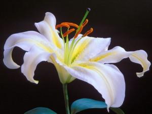 iris çiçeği resmi