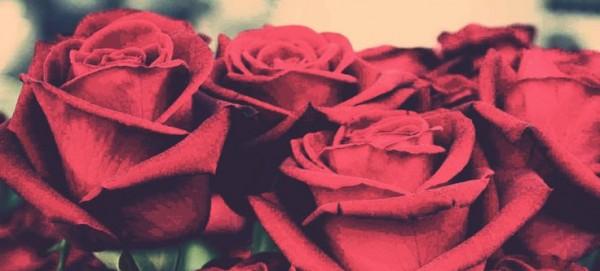 kırmızı-güller