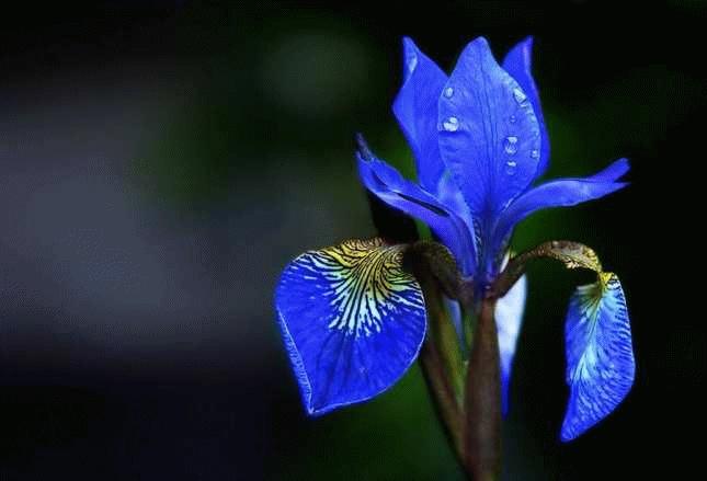 mavi iris