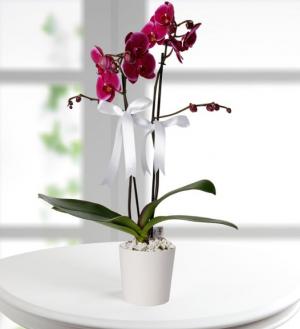 mor-orkide-2dal