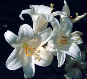zambak lily