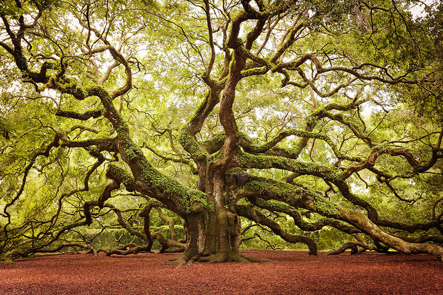 Melek Meşesi ağacı