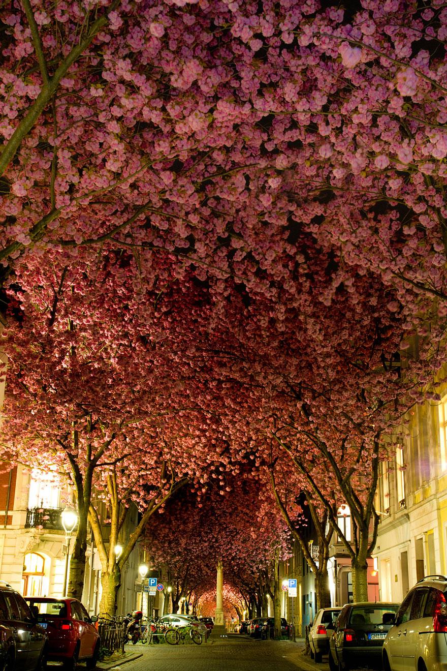 Kiraz çiçeği ağacı