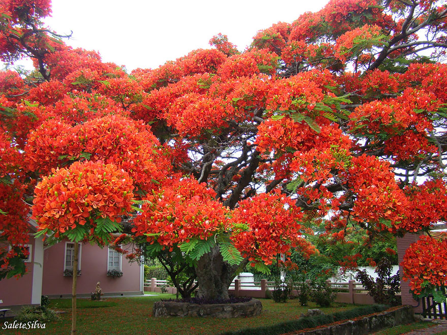 Ateş Ağacı