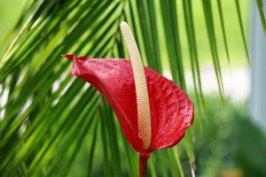 Antoryum Çiçeği Nasıl Yetiştirilir