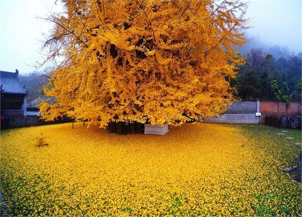 ginkgo ağacı