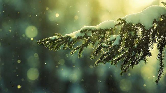 karda çam ağacı