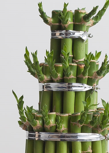 lucky-bamboo-at2446-1-6