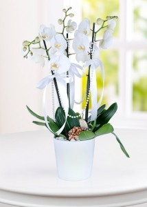 3-dal-phalaenopsis-orkide-at582-1-2