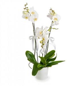 3-dal-phalaenopsis-orkide-cicekc3415-1-2