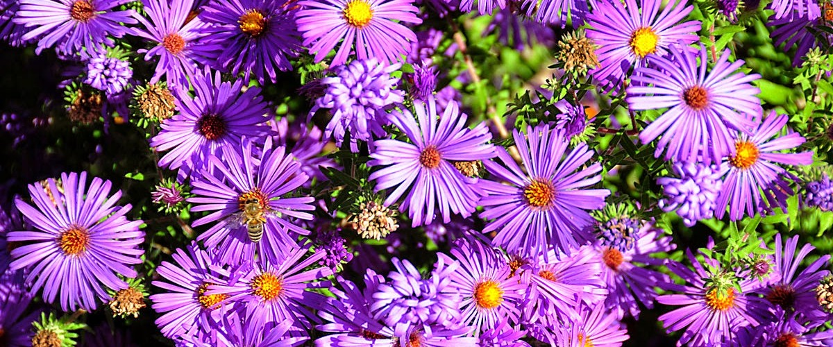 Aster-pictures-flowers