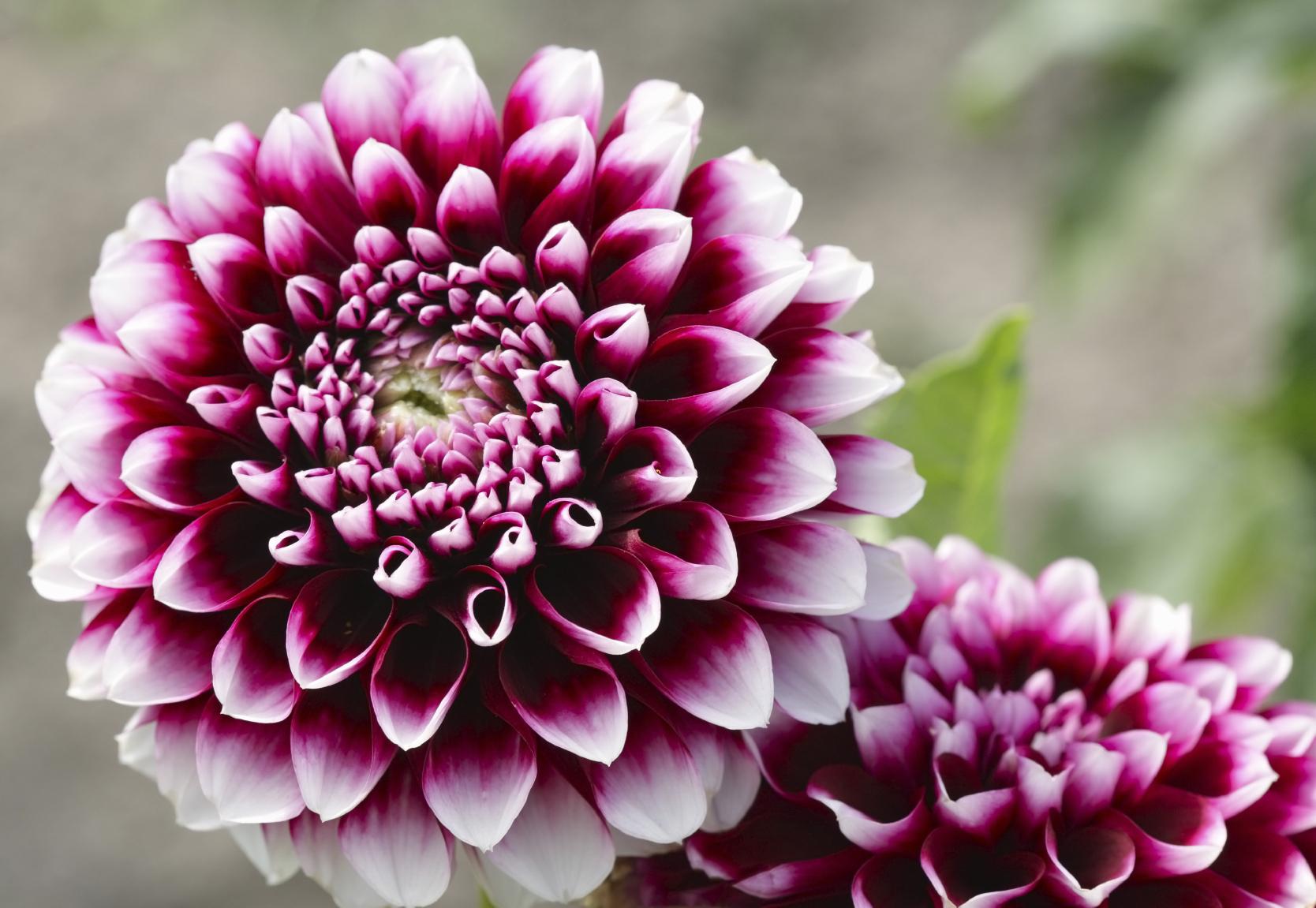 dahlia çiçeği