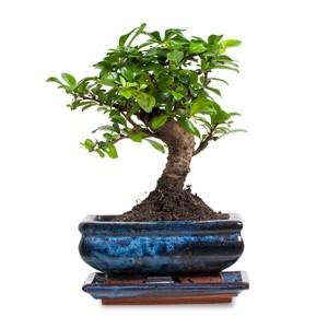 zelkova-bonsai-kucuk-boy-cicekc3709e-1-3