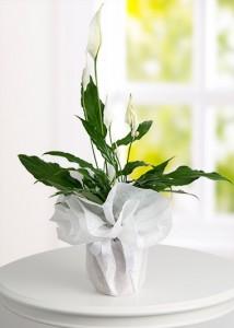 orta-boy-spathiphyllum-(baris-cicegi)-bt119-1-4