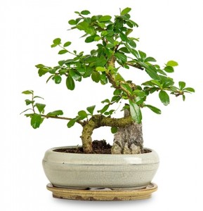 zelkova-bonsai-buyuk-boy-cicekc3708e-1-4