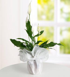 orta-boy-spathiphyllum-baris-cicegi-bt119-1-1