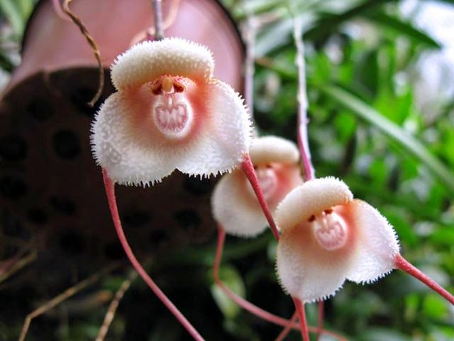 monkey-face-orchid