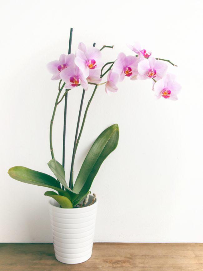 yilbasi-orkide