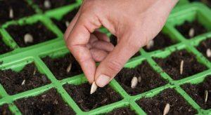 tohumla çiçek çoğaltma