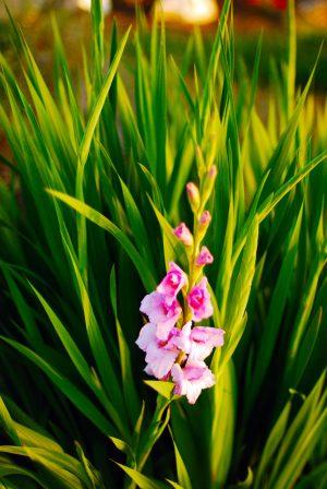 Glayöl çiçeğinin özellikleri Nelerdir Glayöl çiçeği Bakımı Ve