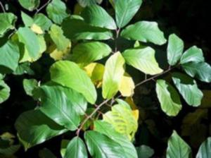 sararan yaprak kloroz