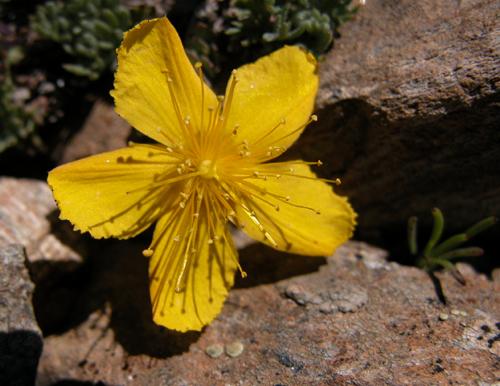 kantaron çiçeği
