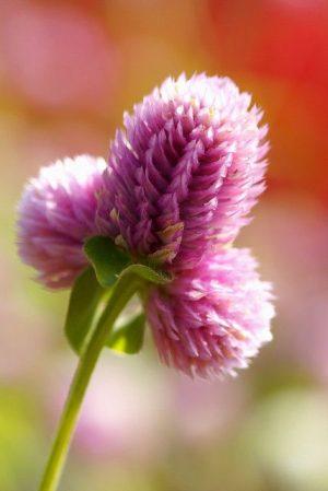 medine çiçeği