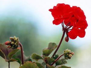 ıtır çiçeği